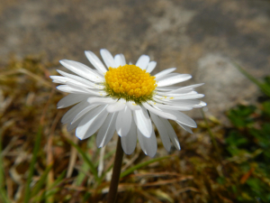 TQ3340 (Recording for 2020 Atlas) - Bellis perennis?
