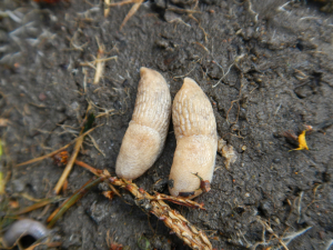 Grey Field Slugs (Deroceras reticulatum)?