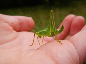 Speckled Bush-cricket - female