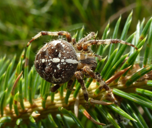Another Araneus