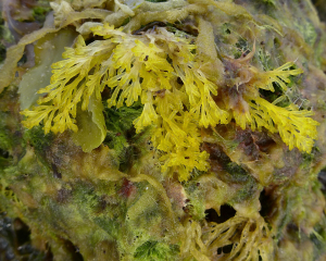 Difficult Sea weed
