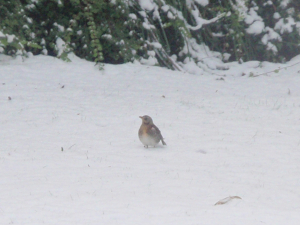 Fieldfares in the garden