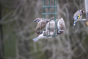 tree sparrows on garden feeder