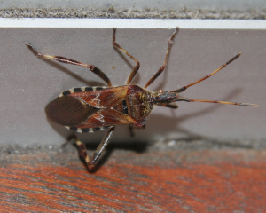 Unknown Bug - now identified as Western Conifer Seed Bug