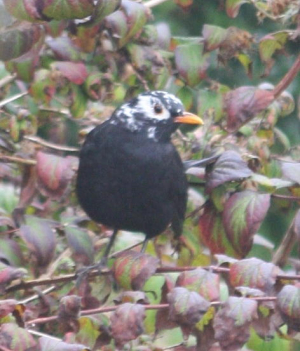 Spotted 18/09/2014 - Albinistic Blackbird???
