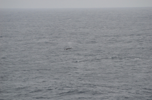 Fin whale or possibly Blue ?