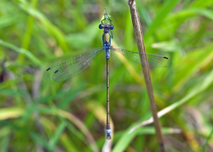 3-Winged Emerald Damselfly
