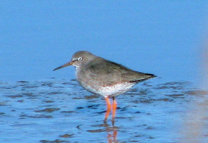 Sleepy Redshank
