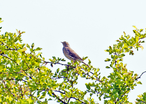 Another SBJ - Meadow Pipit?