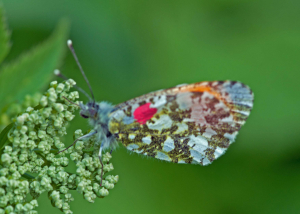 Marked Orange-Tip