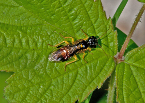Sawfly - Pamphilus maybe
