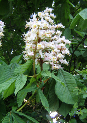 Horse Chestnut in flower.
