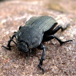 South African Beetle