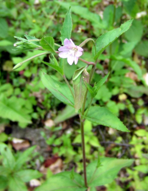 Broad-leaved willowherb?