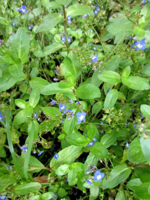 A Speedwell in woodland