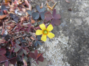 Yellow flower, maroon and grey leaves