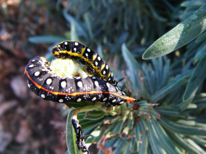 lycian caterpillar