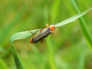 Blue Soldier Beetle (Ancistronycha abdominalis)?