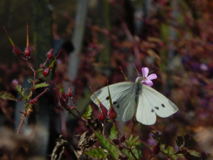 Large White (Pieris brassicae)
