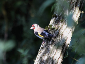 IMG_0609 - 2010_07_31 - goldfinch