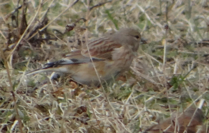 Is this a linnet?