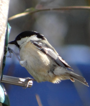 Coal Tit at Pulborough Brooks