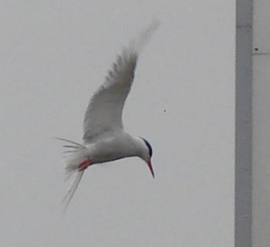 Tern but what kind?