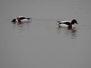 Shelduck at Pulborough Brooks