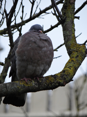Puffed Up Woodpigeon