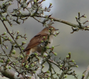 My First Nightingale?