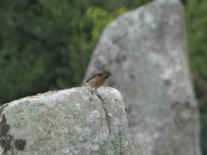 Stonechat on Standing Stone