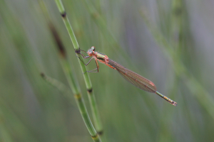 Damselfly for ID