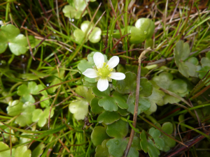 Round leaved water crowfoot?