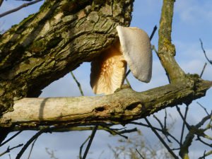 Fungi on elder tree