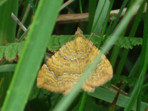 Moth on Lundy