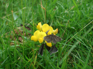 Birds foot trefoil and chimney sweep moth