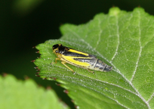Unknown bug - froghopper?