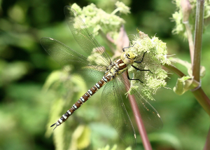 Dragonfly - Southern Hawker
