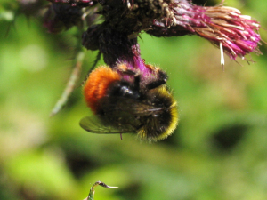 Red-tailed Bumblebee - female and male