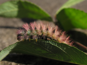 Pale Tussock Moth larva - colour variant