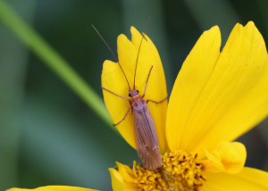Caddis fly - species unknown