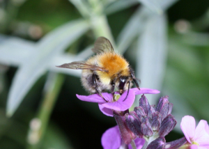 Unknown Carder bee