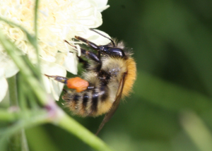 Social bee with pollen basket