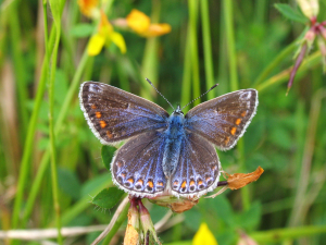 Butterfly - Common Blue