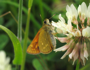 Butterfly - Large Skipper