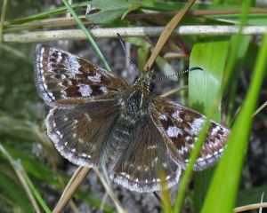 Butterfly - Dingy Skipper