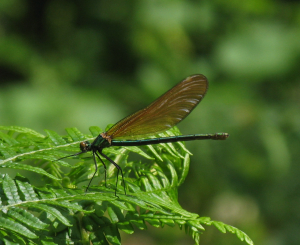 Damselfly - Beautiful Demoiselle
