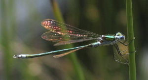 Damselfly - Emerald