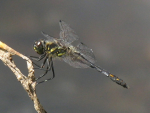 Dragonfly - Black Darter