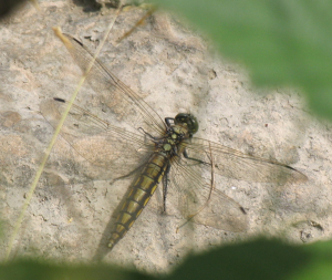 Dragonfly - Black-tailed Skimmer
